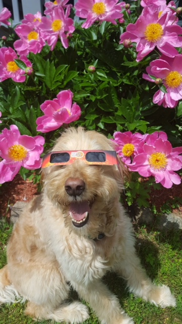 Dog with eclipse glasses